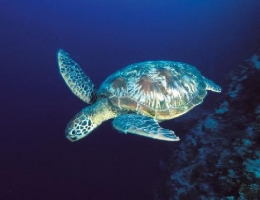 La tortue verte, tombant