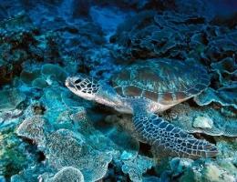 La tortue verte, corail