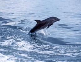 Le grand dauphin, étrave