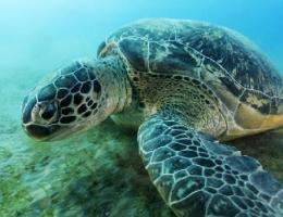 La tortue verte, phanérogames