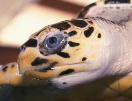La tortue, œil, comparaisons